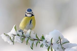 Mésange-bleue  dans FAUNE IMG-Oiseaux-m%C3%A9sange-bleue_Nathalie_Annoye-300x200