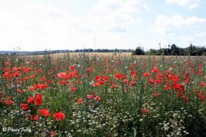 Fleurs des champs  dans Coup de coeur fleurs-des-champs-a22199545-300x199