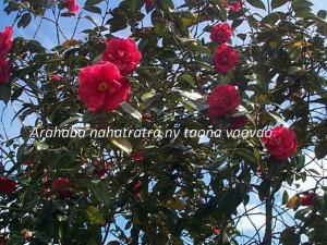 camelliajaponica_0